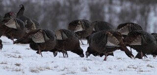 Turkeys Foraging