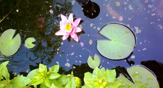 Water Lily in Bloom
