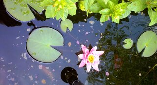 First Water Lily Bloom of the year