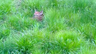 Whitetail fawn new to the world