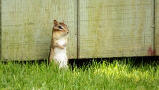 Chipmunk looking for a meal