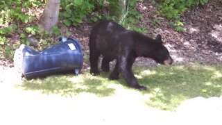 Bear 6/21 Savitch Rd Town of Chenango