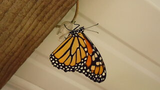 The monarch hatched