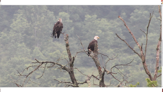 Bald Eagles Return To Area