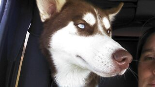 Missing red/ husky