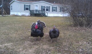 Turkeys on my walk