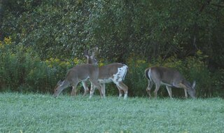Scarce and Unusual Piebald Buck / Deer