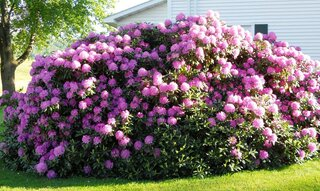 Rhododendren in Full Bloom!