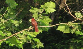 The Summer Tanager