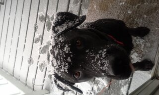 our 9yr old black lab lovin the snow.