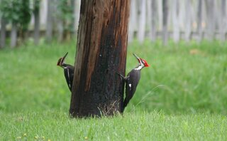 Woodie woodpecker and friend