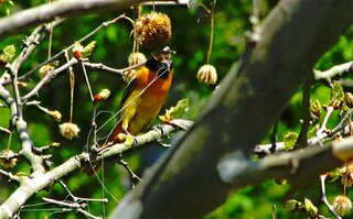 Caught the Orchard Oriole Fishing