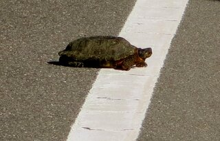 Is This Turtle Crossing the Finish Line