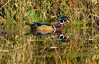 Wood Duck on the Fall Pond!