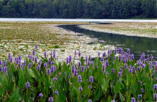 Long Pond Water Flowers