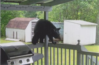 Bears in my Backyard!