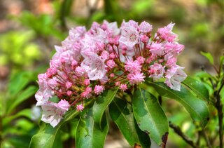 PA Mountain Laurel is in Full Bloom!