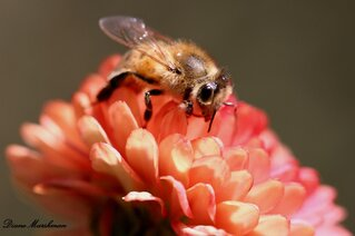 Honey bee on a fall mum