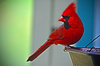 Faithful Cardinal!