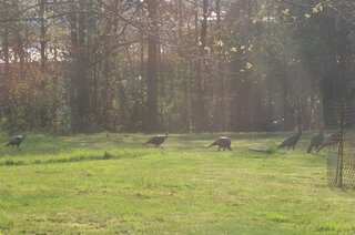 Turkey Trot on a sunny evening