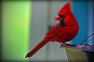 The Faithful Cardinal!