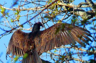 Turkey Vulture Warming It's Wings