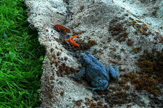 Blue Toad Orange Salamanders