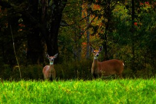 deer & fall foliage
