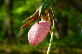 Pink Lady's Slipper Moccasin Flower
