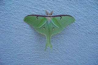 Luna Moth visits church