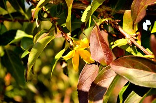 Why is my forsythia blooming?