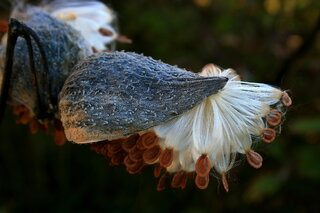 Milkweed pods begin to open