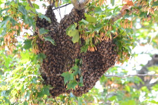 Bee Swarm in Bainbridge
