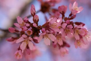 Crab Apple Blossoms