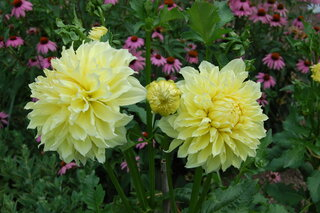 Dahlias with Coneflowers