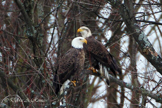 Eagle and pair overlooking river