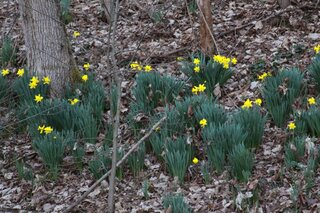 Daffodils Brighten the Hillside