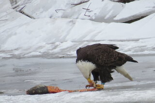 Hungry Eagle