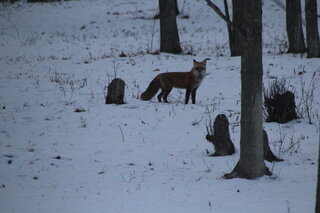 Red Fox in Conklin