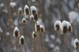 Snowy Field of Teasel