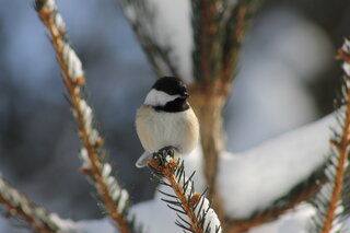 Chickadee enjoying the sun