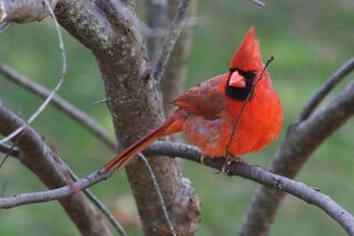 Male Cardinal Checking the Feeders