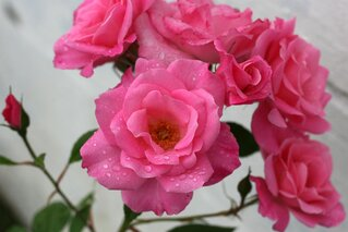Pink Roses in the rain