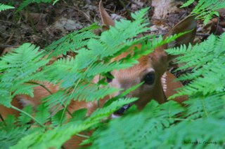 Fawn Hiding in Ferns