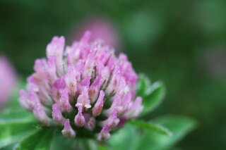 Dew Saturated Red Clover