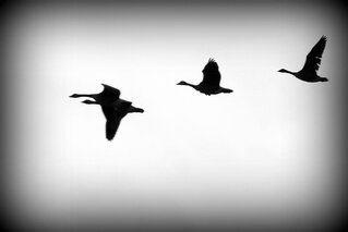 Line of Geese heading home