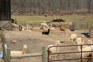 Alpaca Farm west of Tioga Center