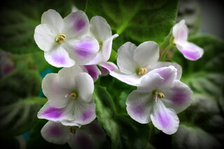 African Violets in bloom again