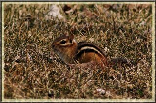 My chipmunk friend soaking up the sun.