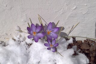 Sign of Spring Appears thru the Snow